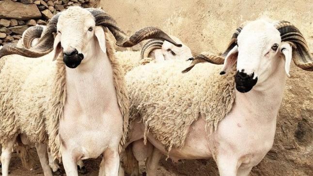 بلاغ وزارة الفلاحة حول عملية ذبح الأضاحي في عيد الأضحى