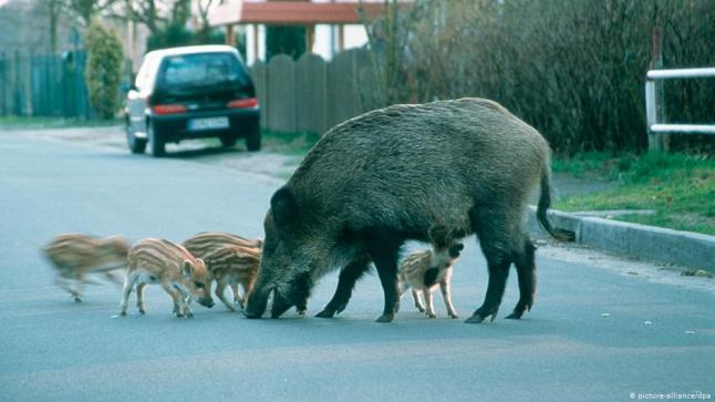 """وزارة """"أخنوش"""" تخرج ببلاغ بعد ظهور أعداد من الخنازير البرية بضواحي دار السلام وحي الرياض بالرباط"""