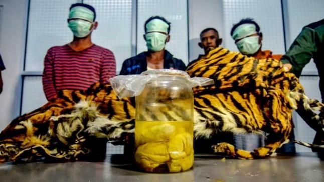 القبض على خمسة أشخاص بتهمة صيد نمور نادرة والاتجار بأجزائها  (صور)