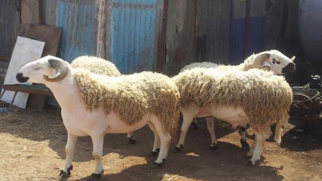 """""""أونسا"""" : الحالة الصحية للقطيع بالمغرب مرضية بشكل عام"""