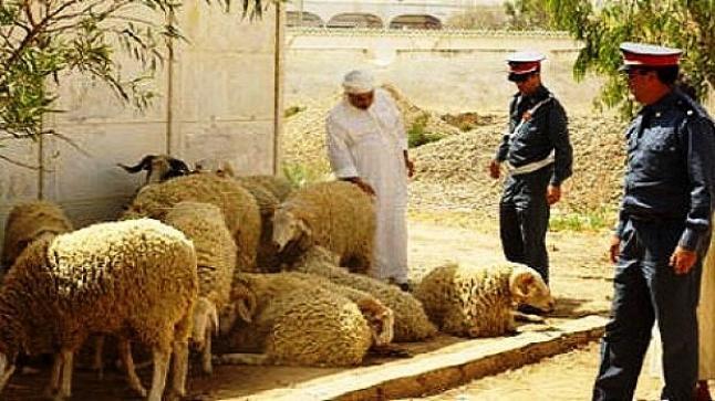 عصابة خطيرة يسرقون الاغنام بسطات