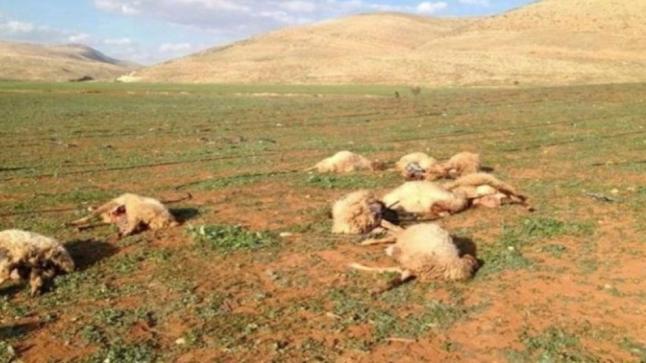 مستجدات في قضية نفوق ماشية أمزميز