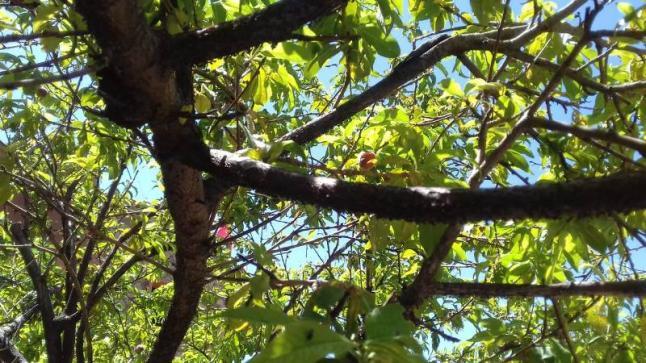 وثيقة .. فلاحون يستغيثون من حشرة  تهدد أشجارهم المثمرة بأزيلال